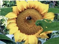 15_05_29_Sonnenblume